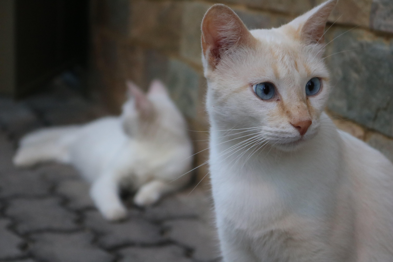 Free stock photo of cat, cat face, cats, domestic cat