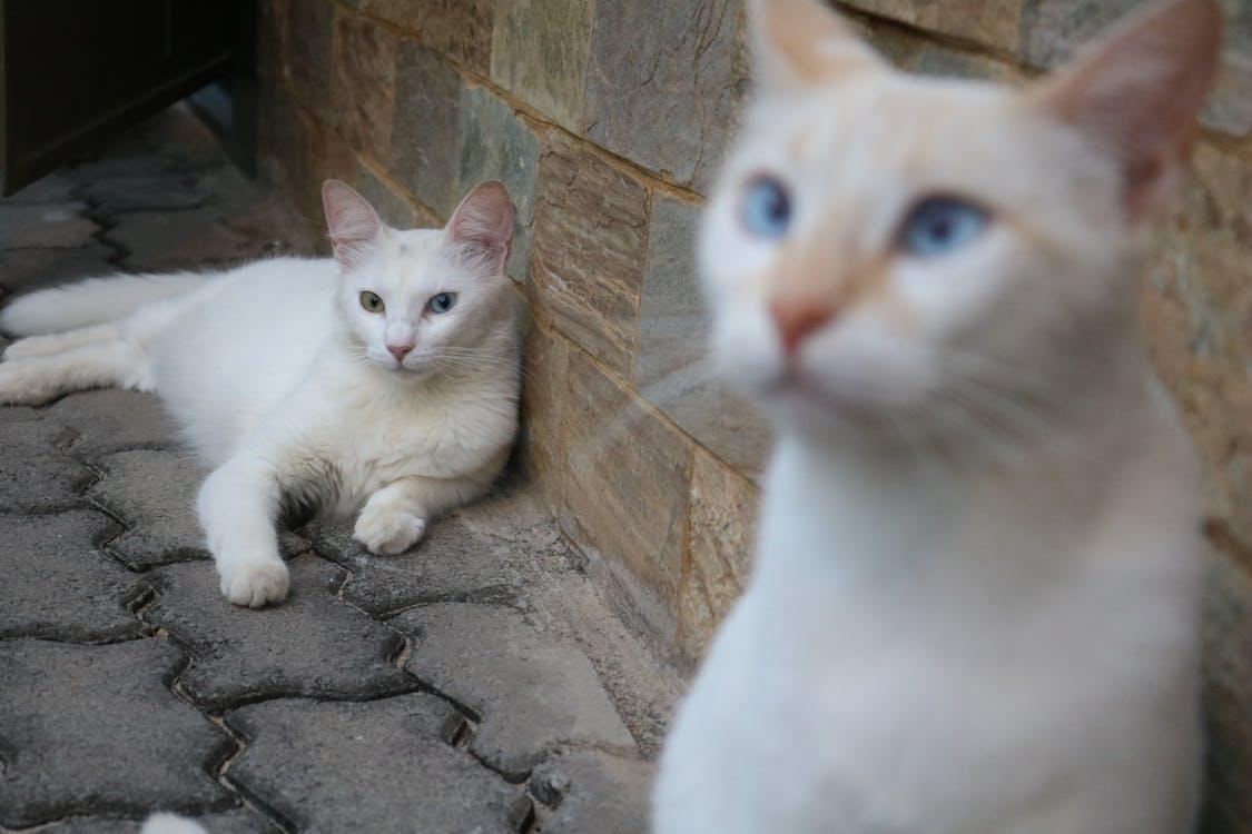 huskat, hvid kat, kat