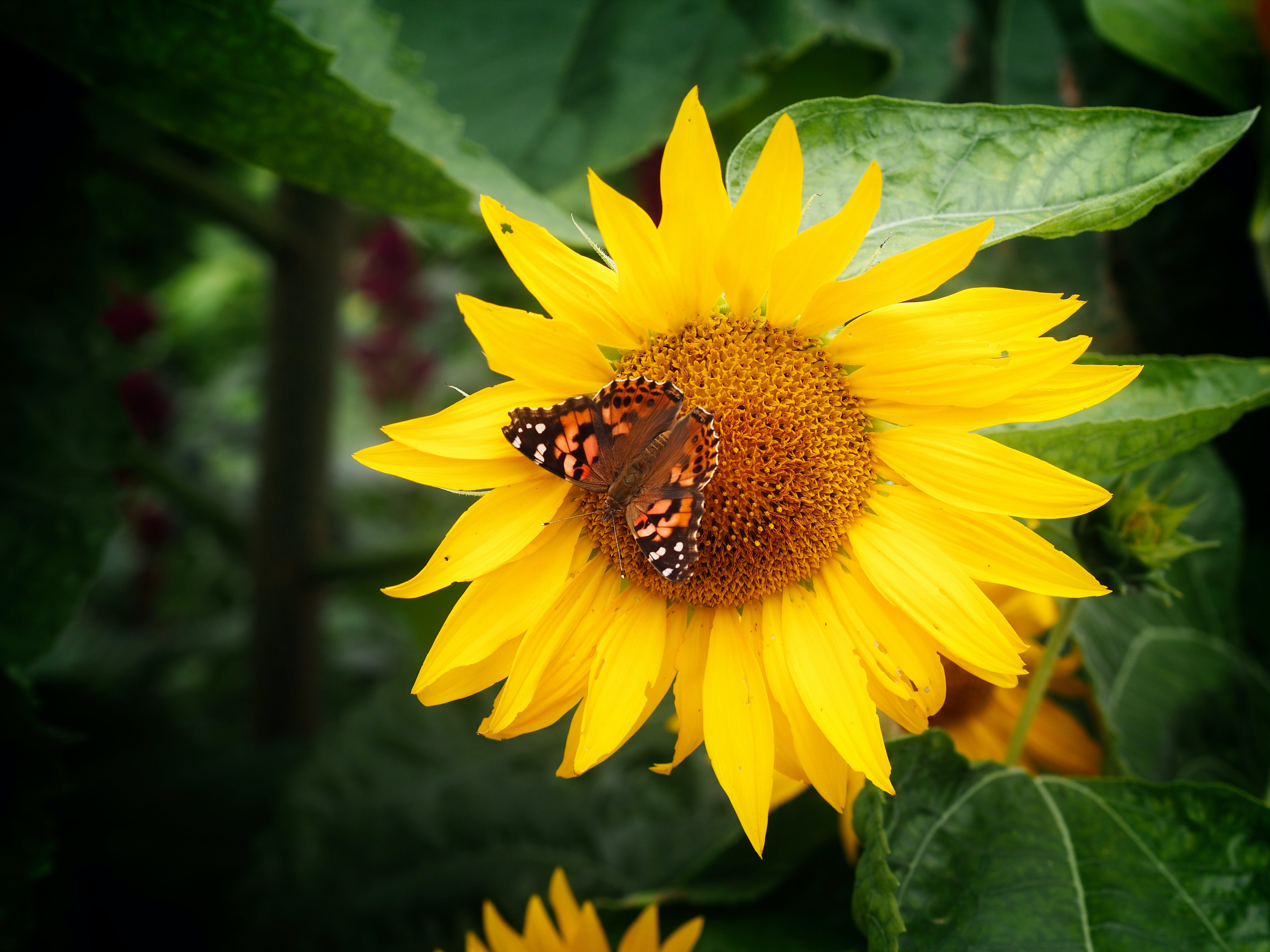 Free stock photo of butterfly on a flower, sunflower