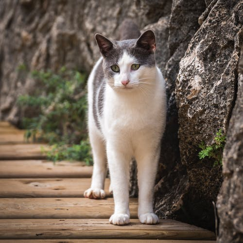 White and Grey Short Fur Cat Beside Grey Rock during Daytime