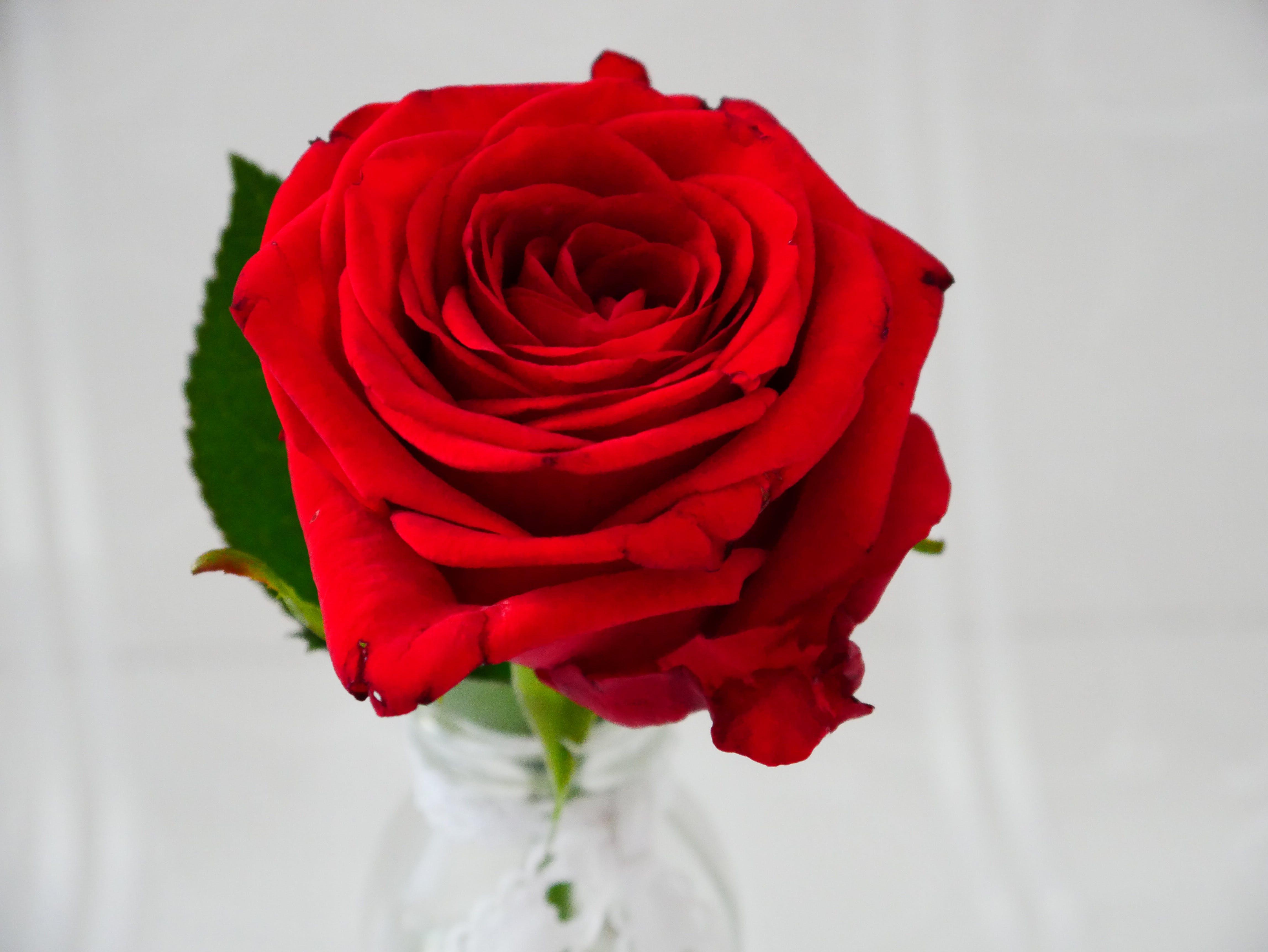 Kostenloses Stock Foto zu blume, blüte, liebe, rose