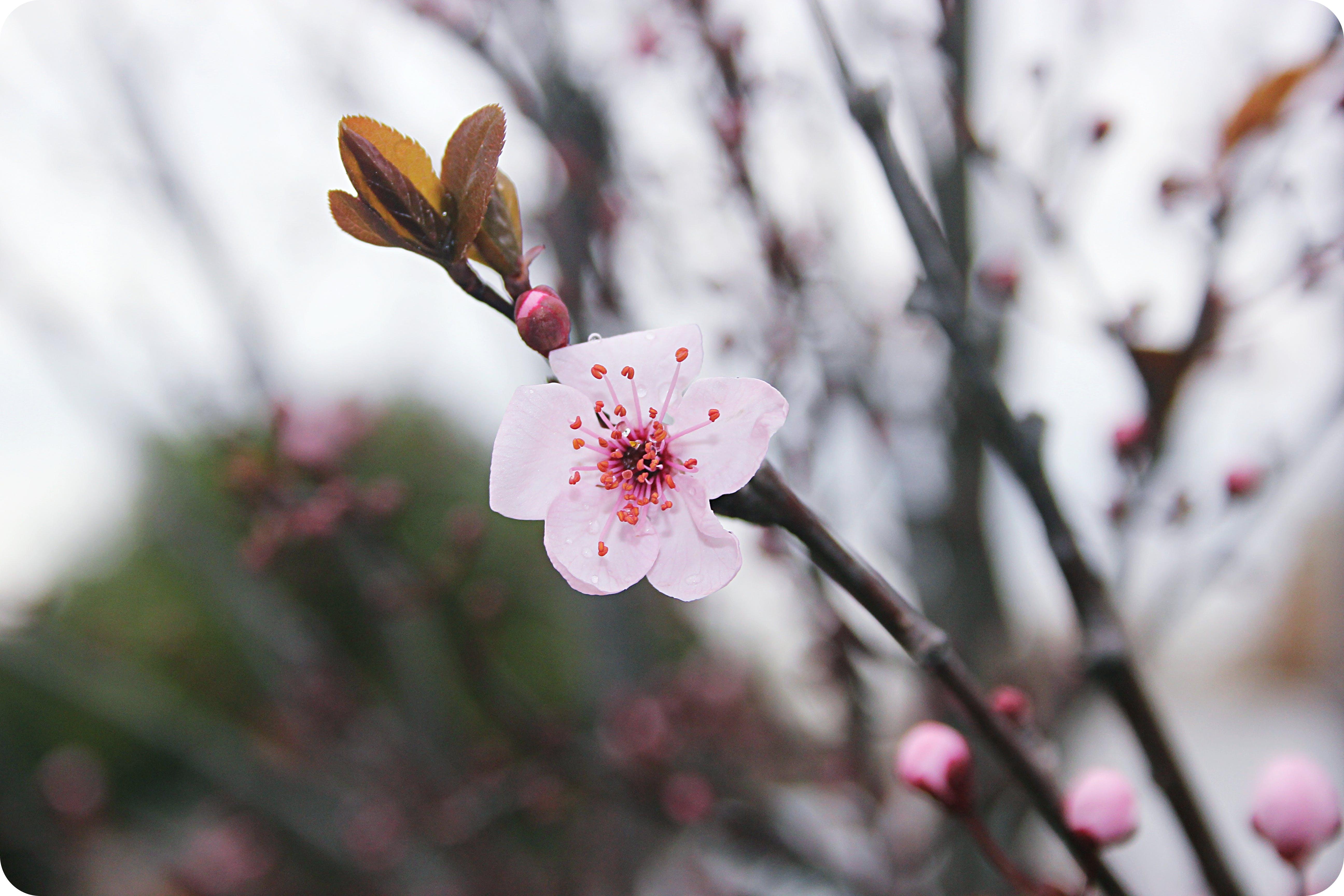Free stock photo of cherry, cherry blossom, cloudy, girona
