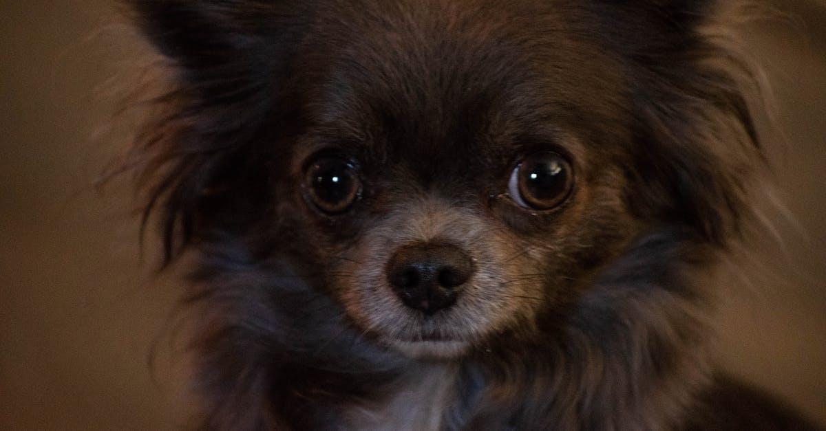 длинношерстная чихуахуа фото картинки чаплыгин, как другие