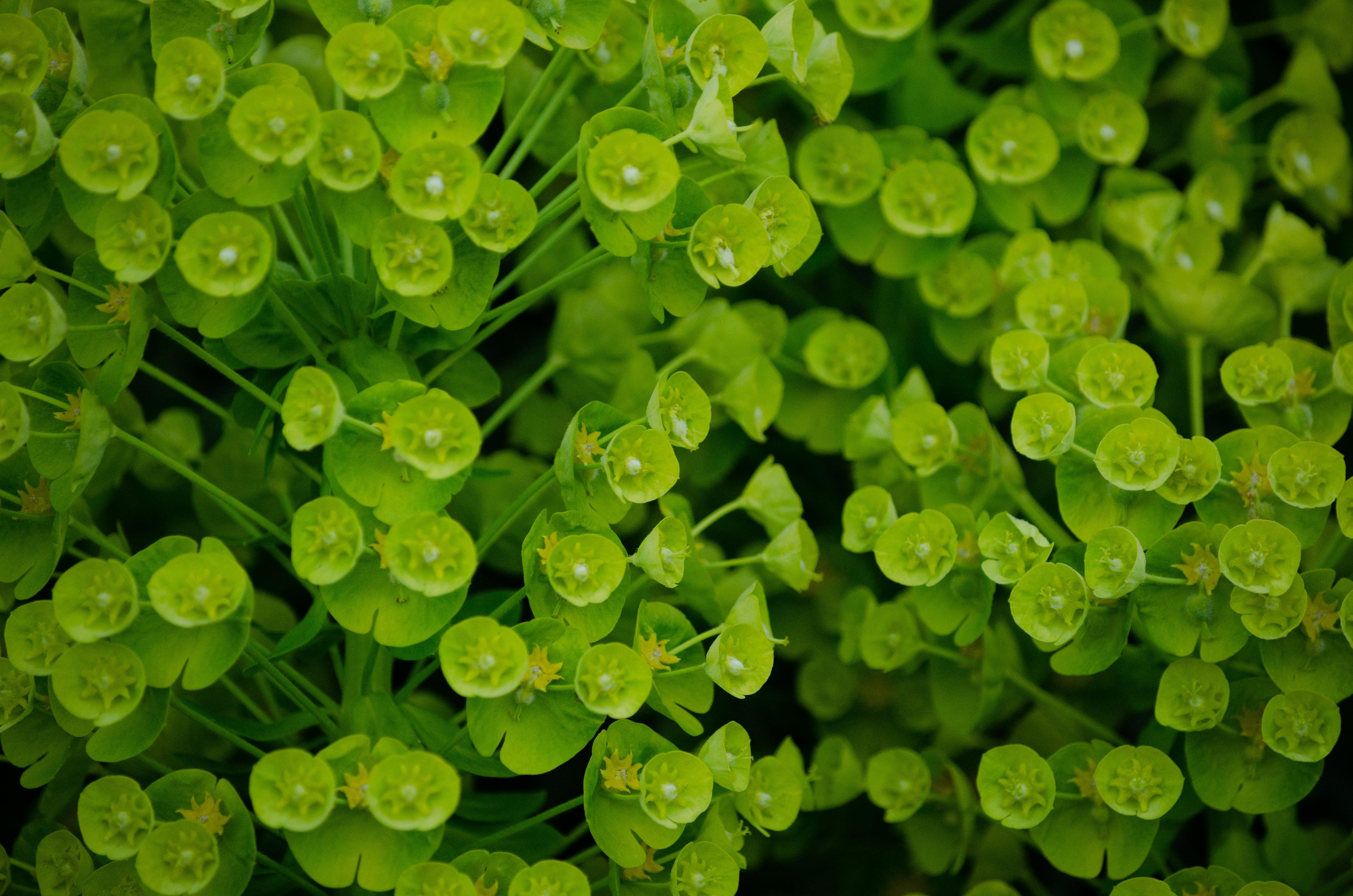Free stock photo of garden, gardening, green, laurel spurge