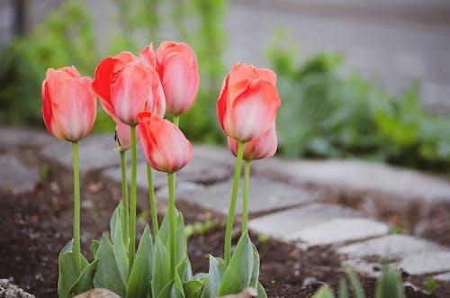 Fotos de stock gratuitas de jardín, jardinería, planta, tulipán