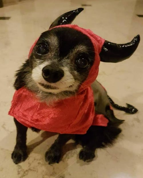 Gratis stockfoto met #dog #animal #cute #chihauhau #halloween
