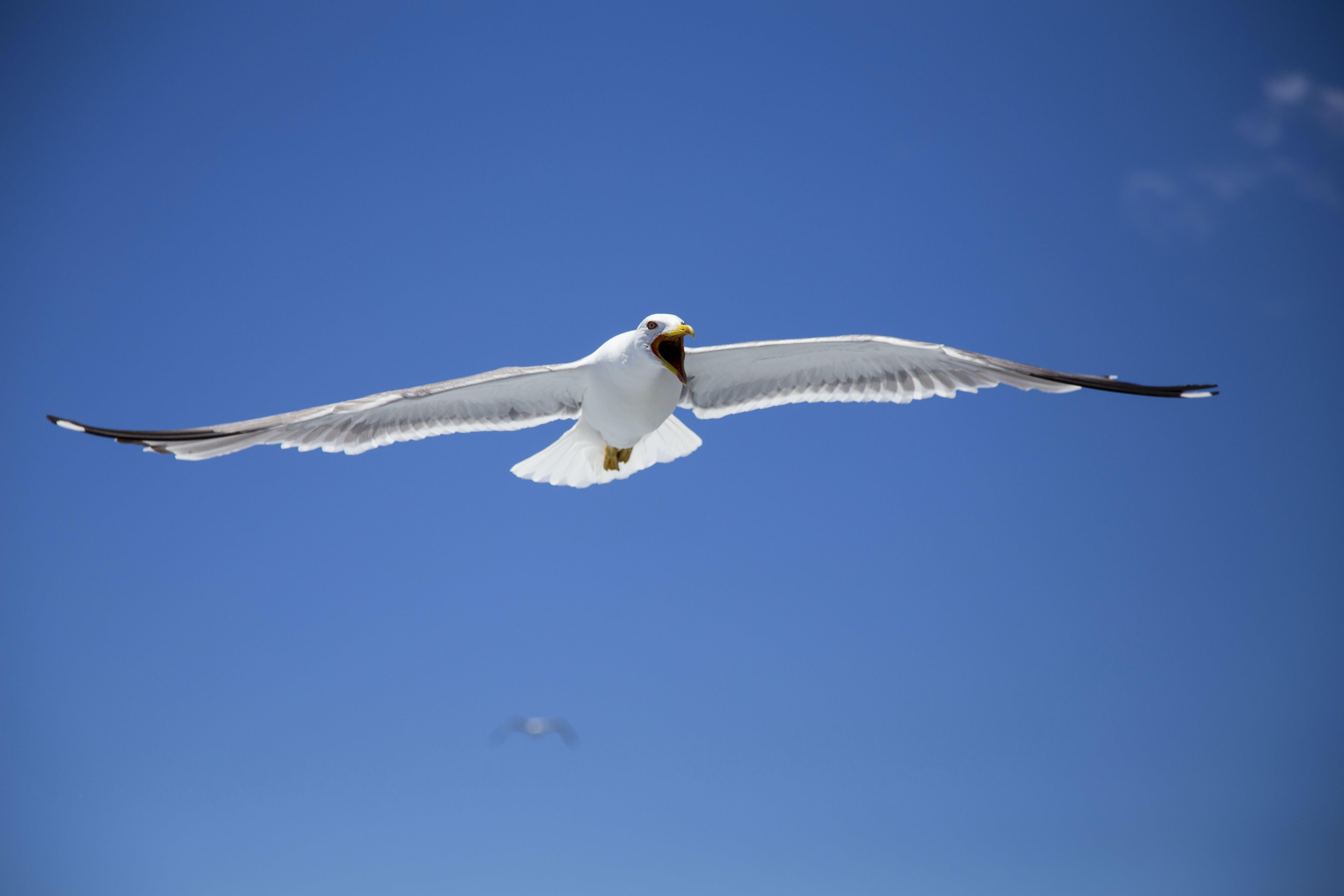 Free stock photo of blue, blue sky, flying, gull