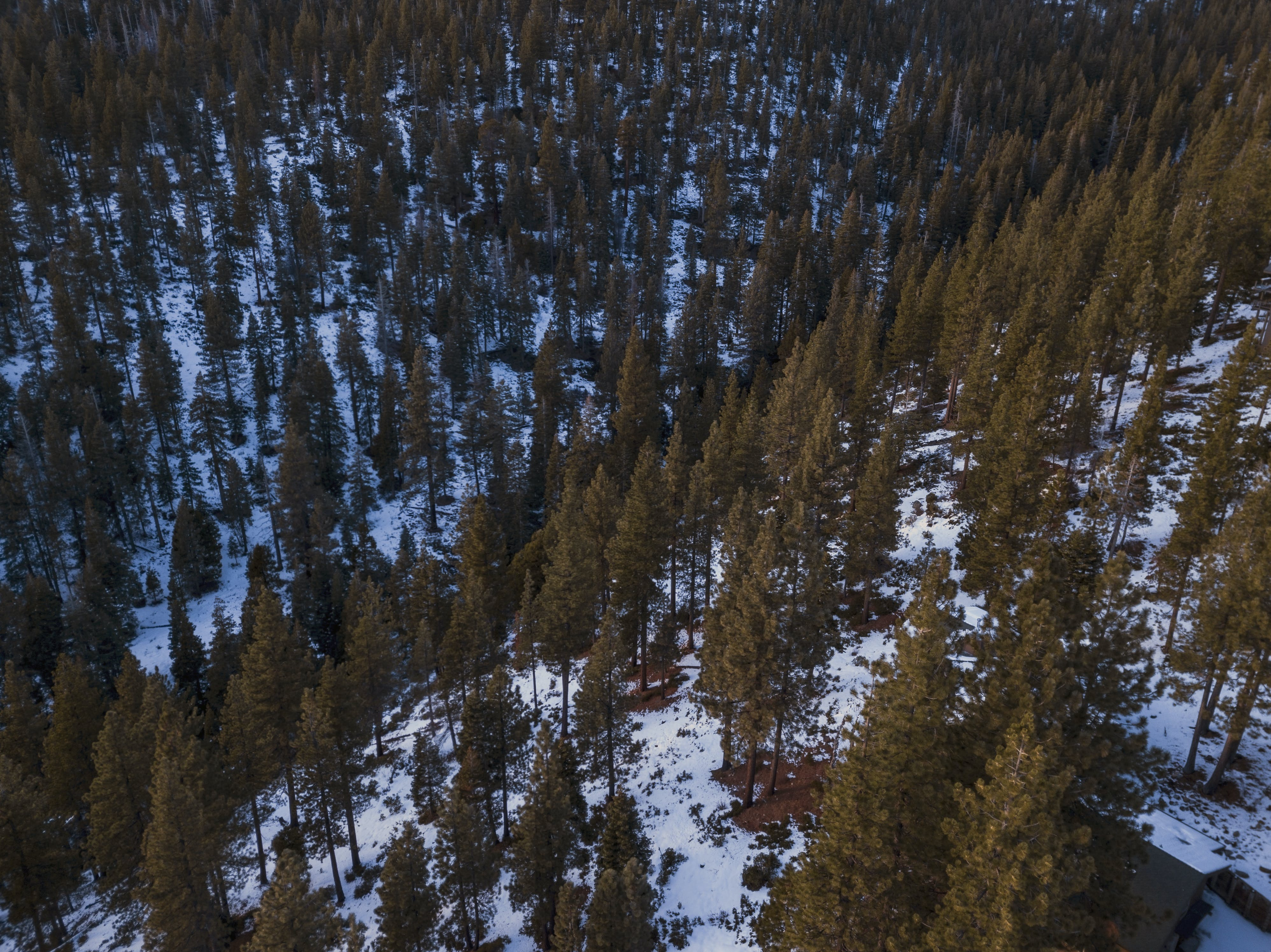 Aerial View of Conifer trees