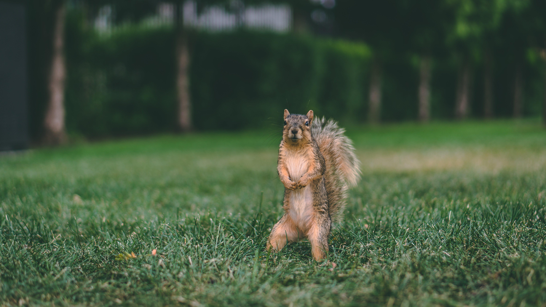 Kostenloses Stock Foto zu eichhörnchen, feld, fokus, gras