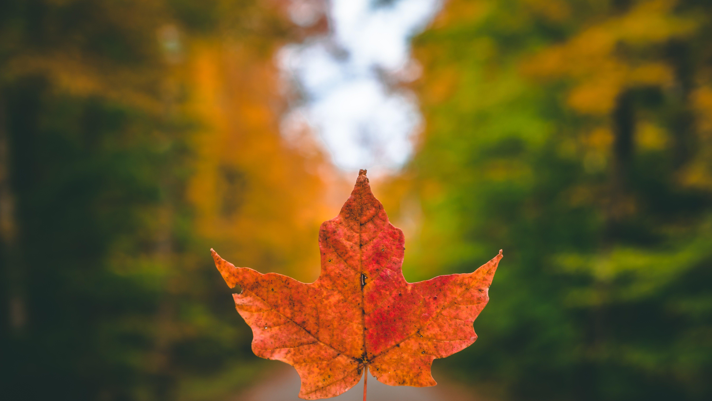 Free stock photo of maple leaf