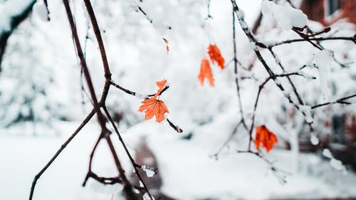 Snowcapped Leaves