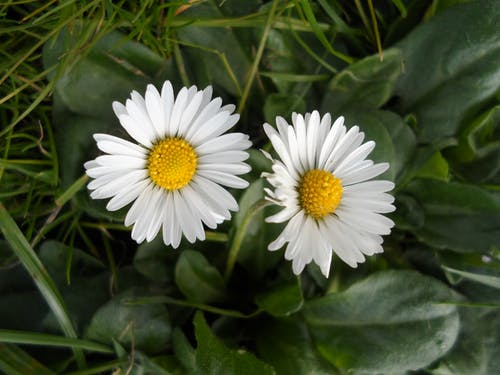 Free stock photo of bloom, daisies, daisy, flower