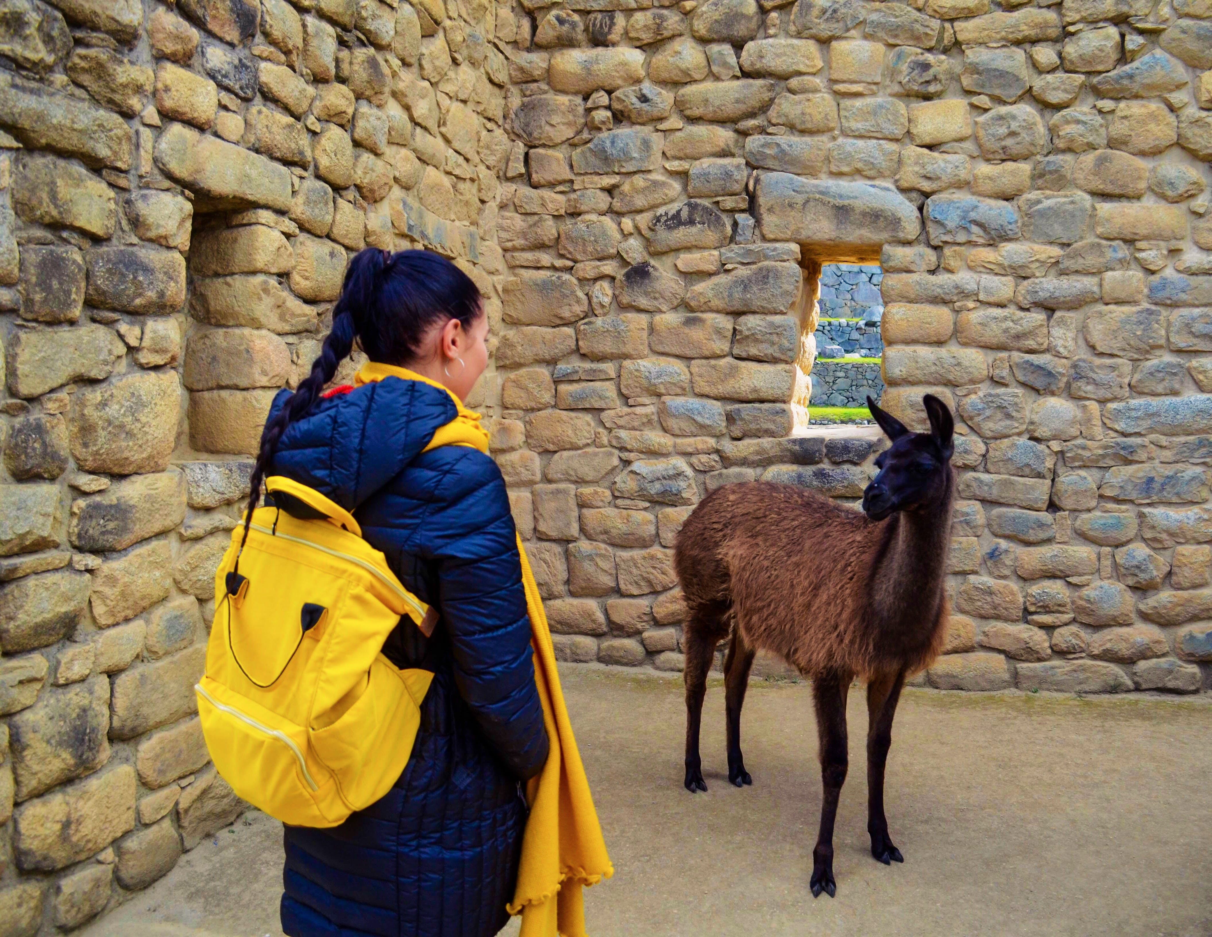 Free stock photo of alpacas, animal, animal lover, animales