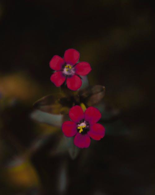 紅色, 色調, 花, 黃色 的 免費圖庫相片