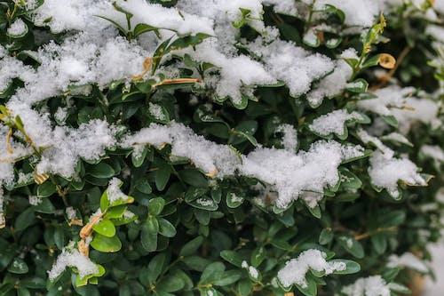 Foto stok gratis boxwood, daun-daun hijau, salju, semak