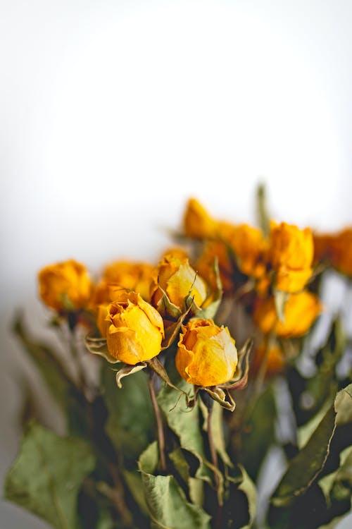 Бесплатное стоковое фото с высохшие цветы, лепестки, розы, флора