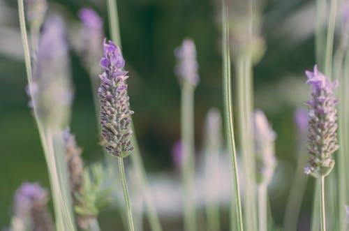 คลังภาพถ่ายฟรี ของ lavander, ดอกไม้, ดอกไม้สวย, สวน