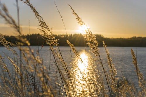 Photos gratuites de herbe, herbe longue, lever de soleil