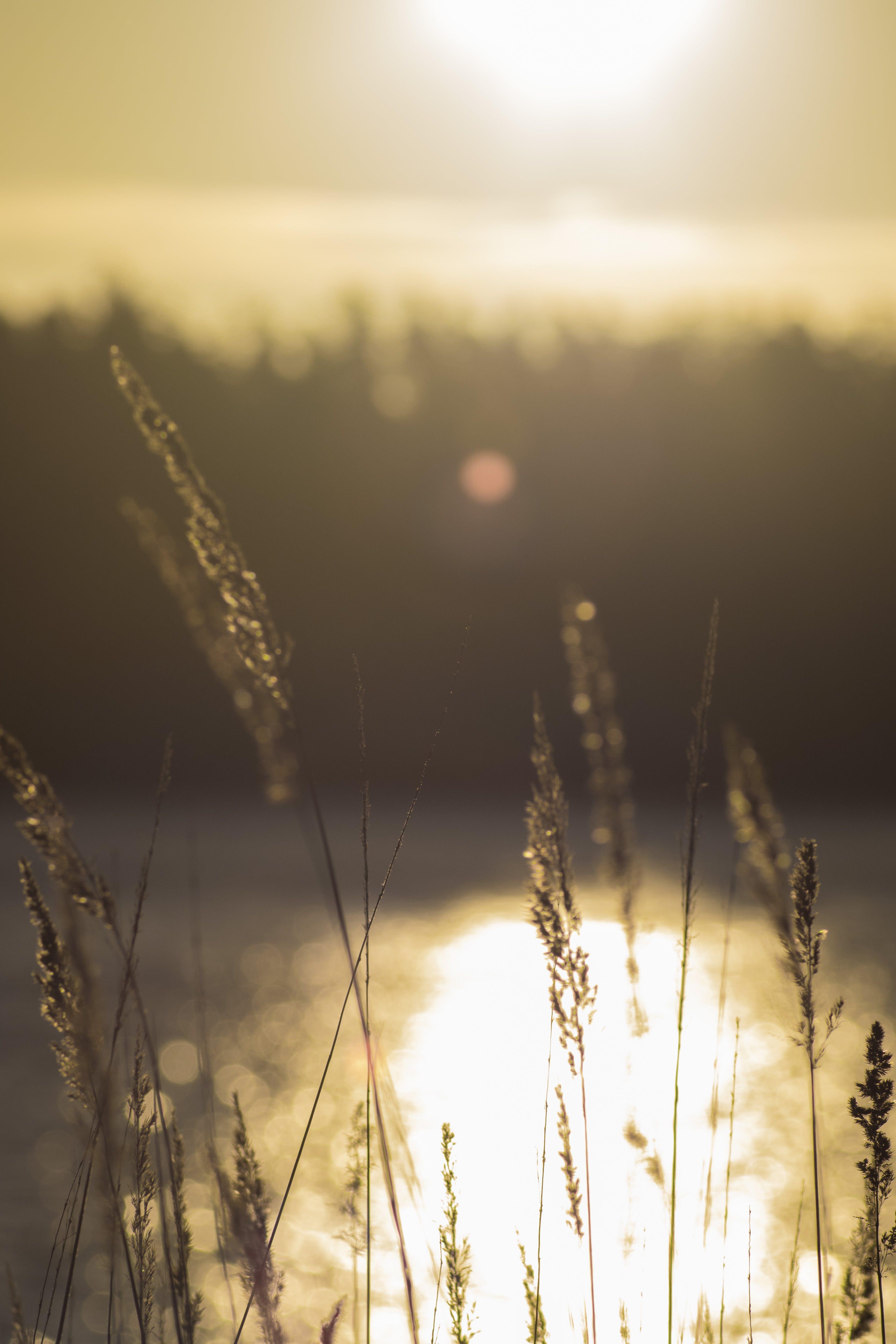 Gratis stockfoto met hoog gras, zon, zonsopkomst