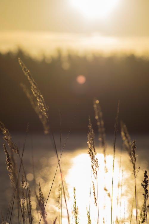 Photos gratuites de hautes herbes, lever de soleil, soleil