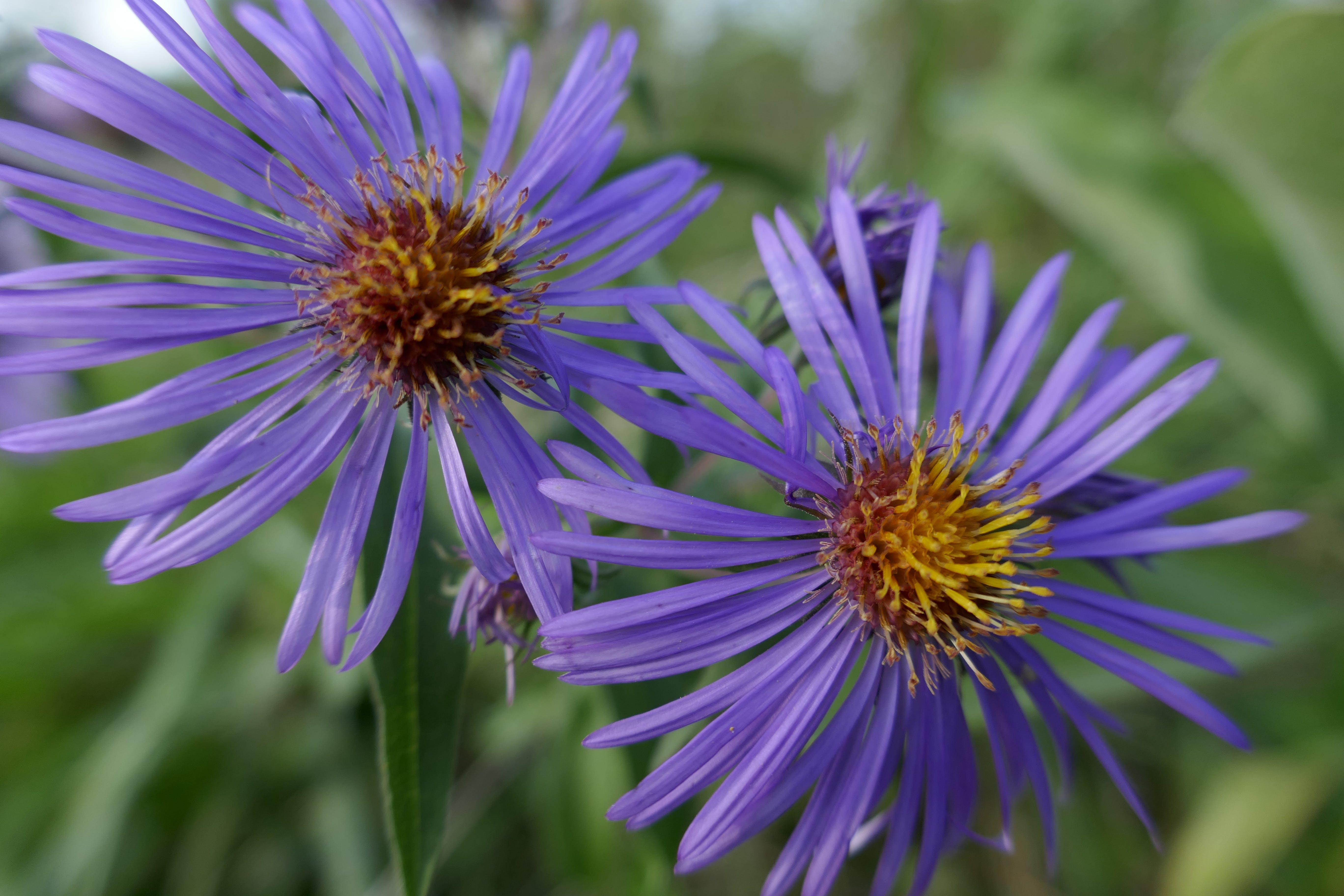 Kostenloses Stock Foto zu blumen, lila blüten, wildblumen