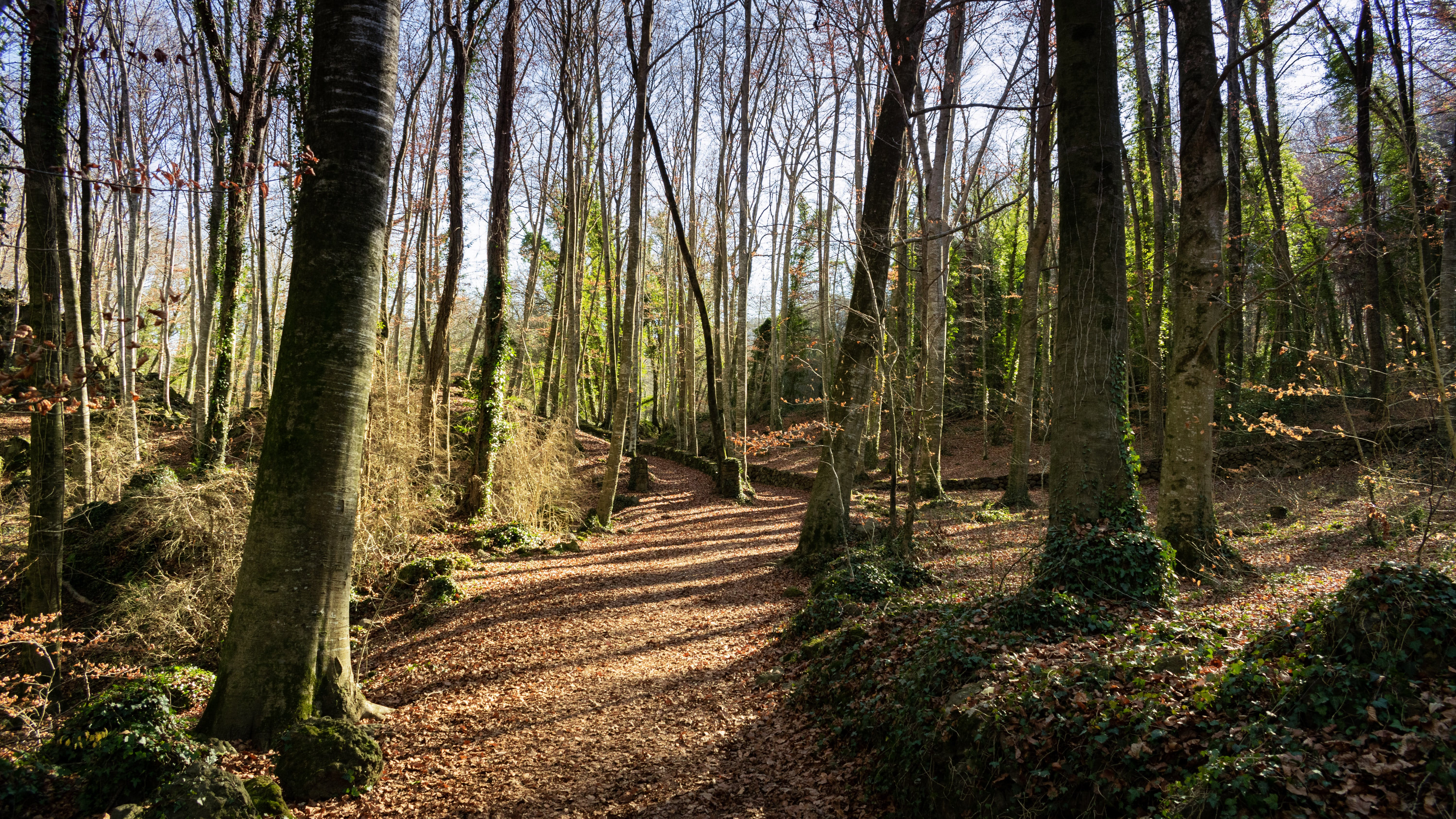 Free stock photo of beech, forest, trees, winter