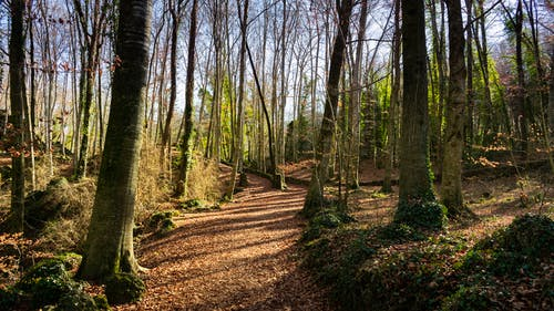 Free stock photo of beech, forest, trees