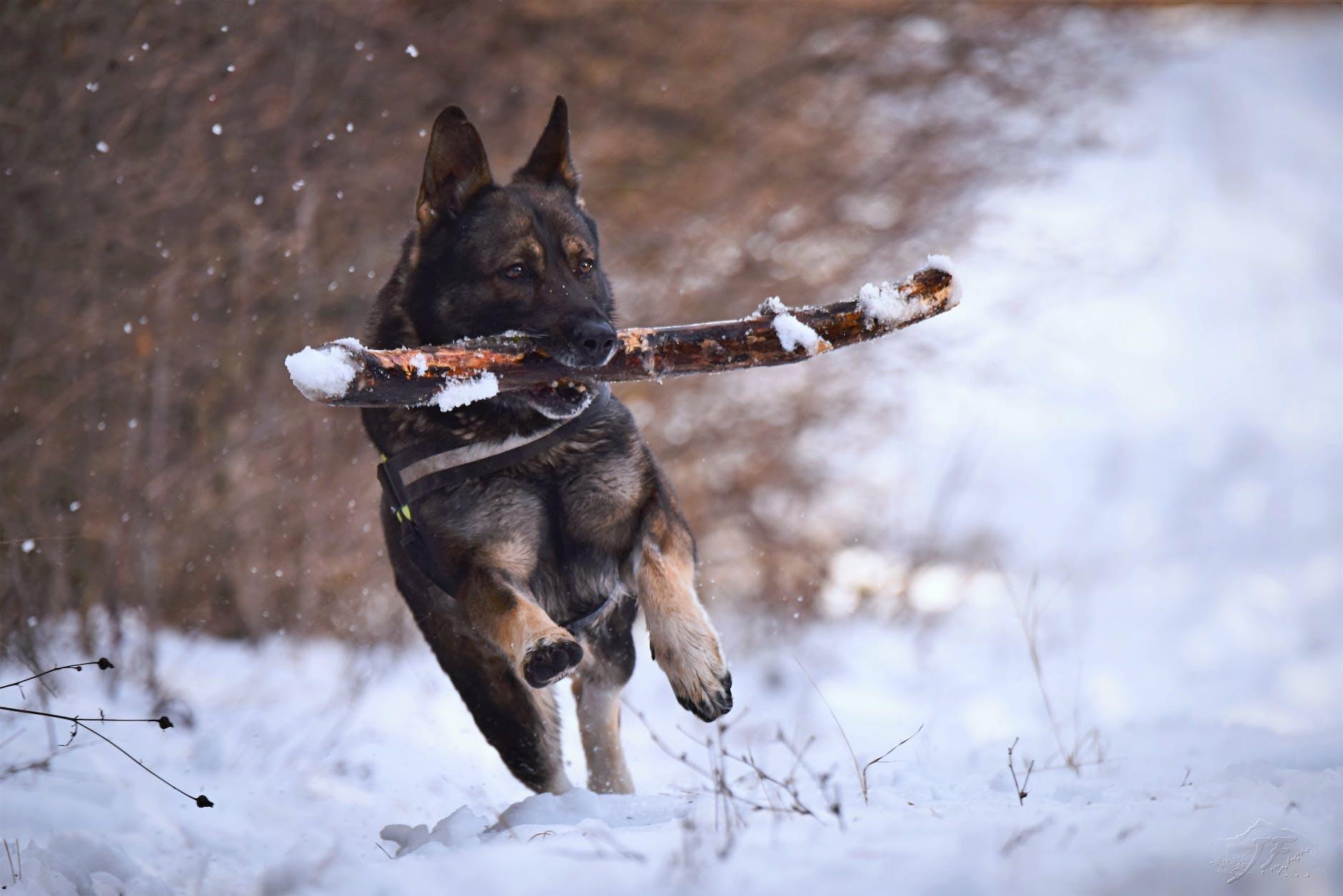 german shepherd playing stick