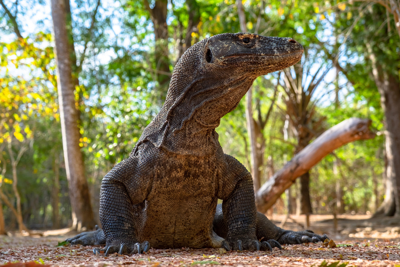Foto profissional grátis de dinossauro, dragão, Indonésia, komodo