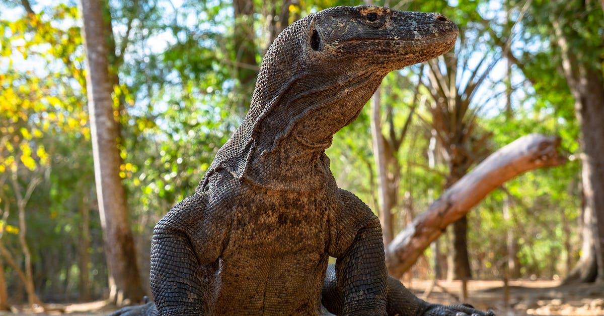 Дракон острова комодо фото