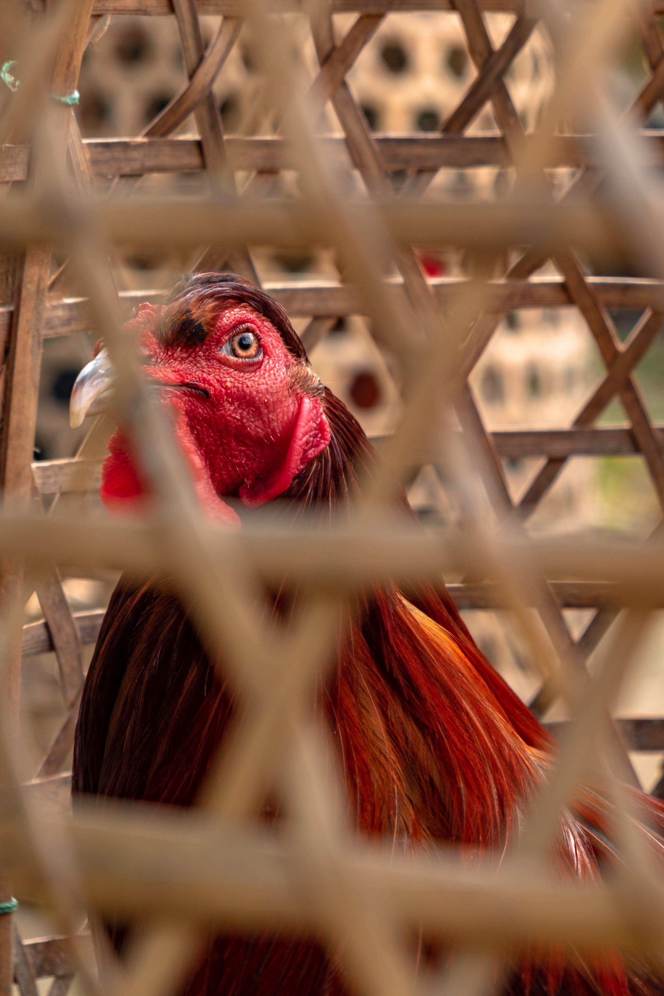 Free stock photo of bali, beautiful eyes, bird, chicken