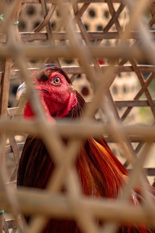 Free stock photo of bali, beautiful eyes, chicken, cock