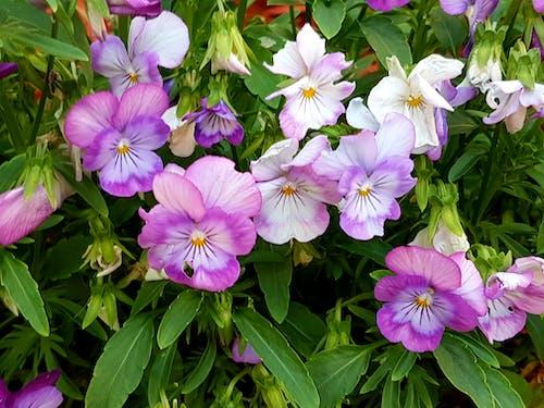 #nature #flower #leaf #leaves #violet 的 免費圖庫相片