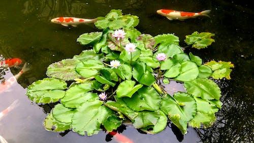 #nature #flower #leaf #lily #koi fish 的 免費圖庫相片