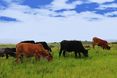 Free stock photo of cattles, clouds, cows, glass