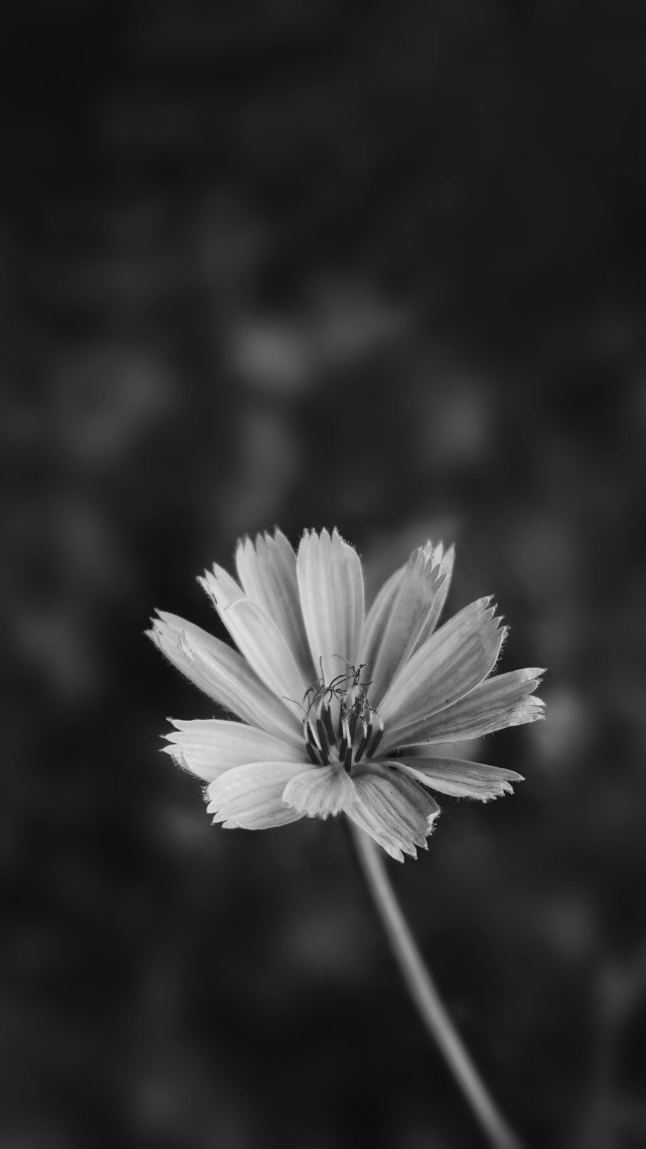 ロック画面の壁紙 白黒 花の無料の写真素材