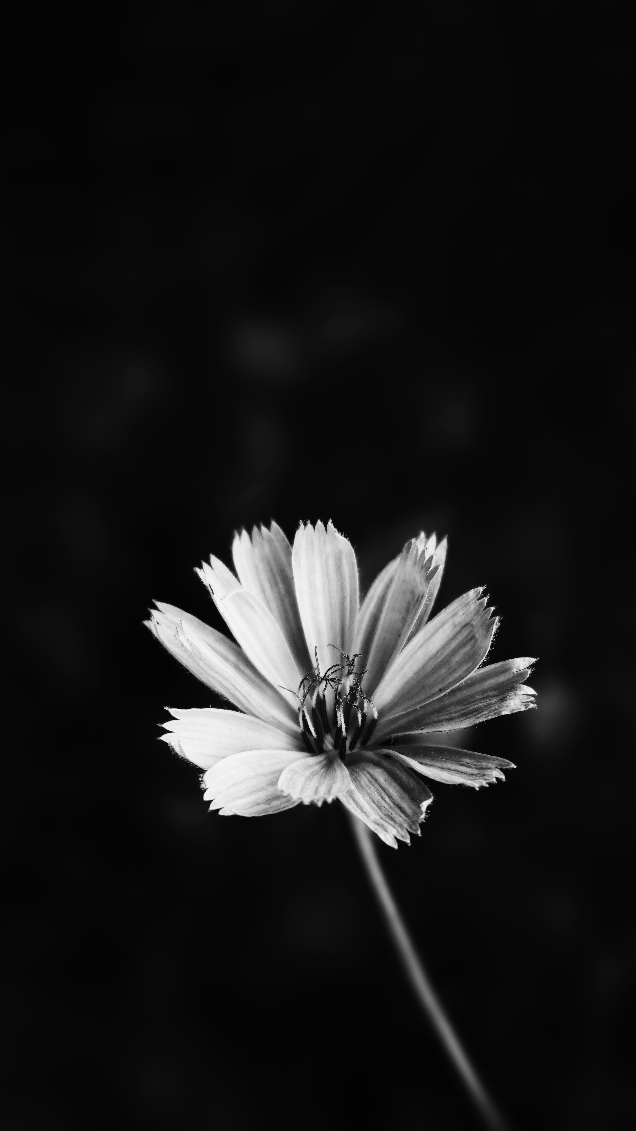 Free Stock Photo Of Beautiful Flower Lockscreen Wallpaper