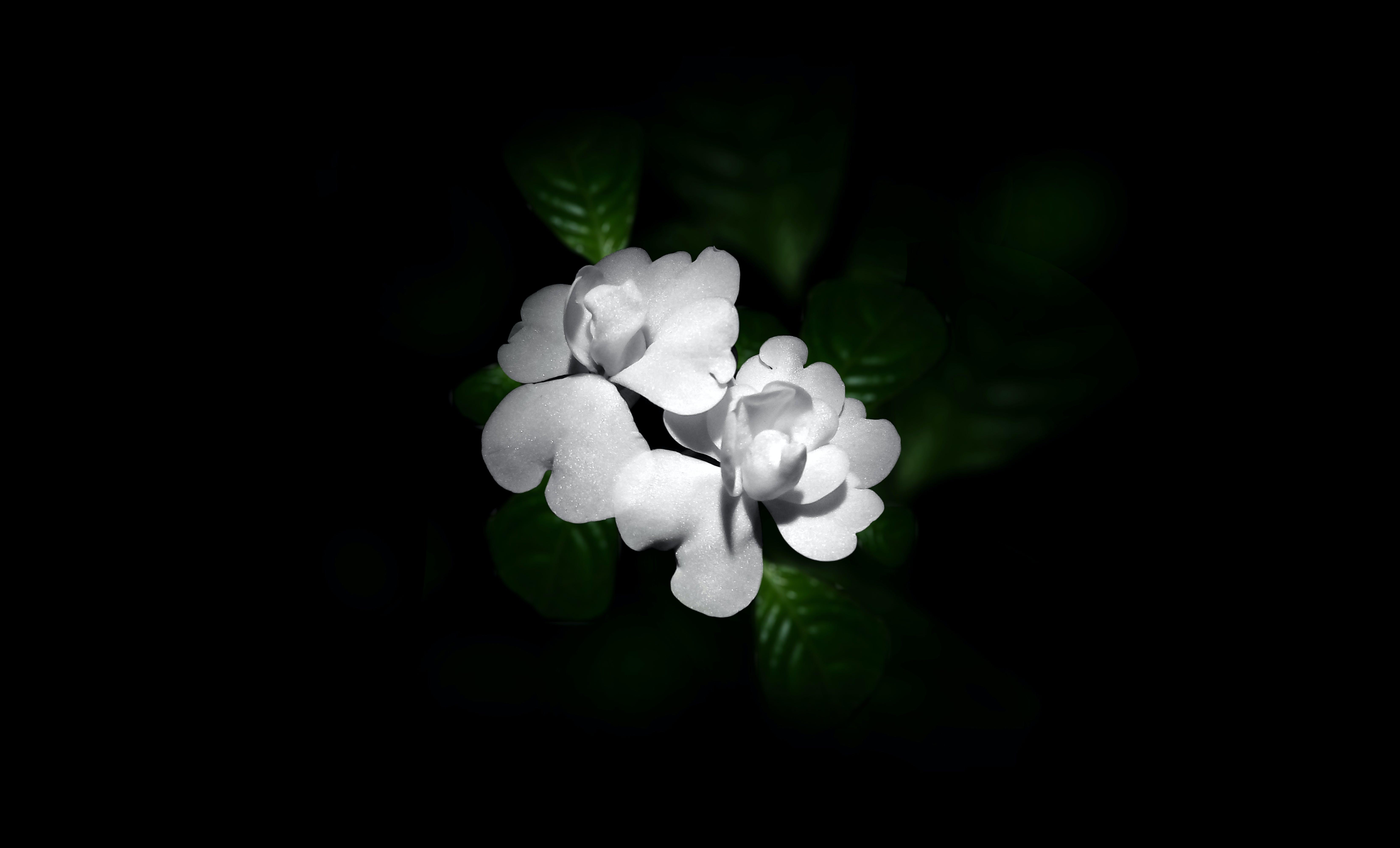 Free stock photo of darkness, night, night photography, white flower