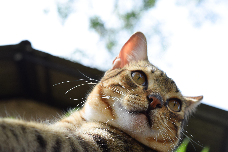 Tan and White Tabby Kitten