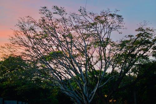 Foto d'estoc gratuïta de arbre, capvespre, natura, núvols
