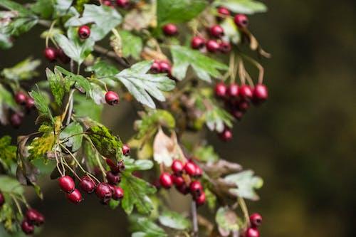 Gratis arkivbilde med bær, natur, røde bær, skog