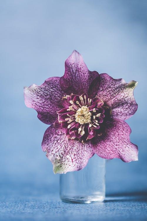 Darmowe zdjęcie z galerii z delikatny, fioletowy kwiat, flora, kwiat