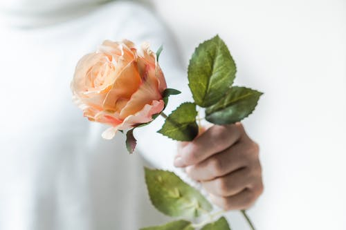 Close-Up Photo of Person Holding Rose