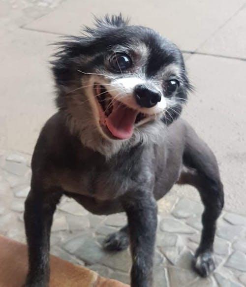 Gratis stockfoto met #dog #animal #cute #chihauhau