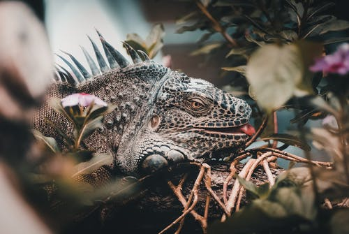 Close-Up Photo of Iguana