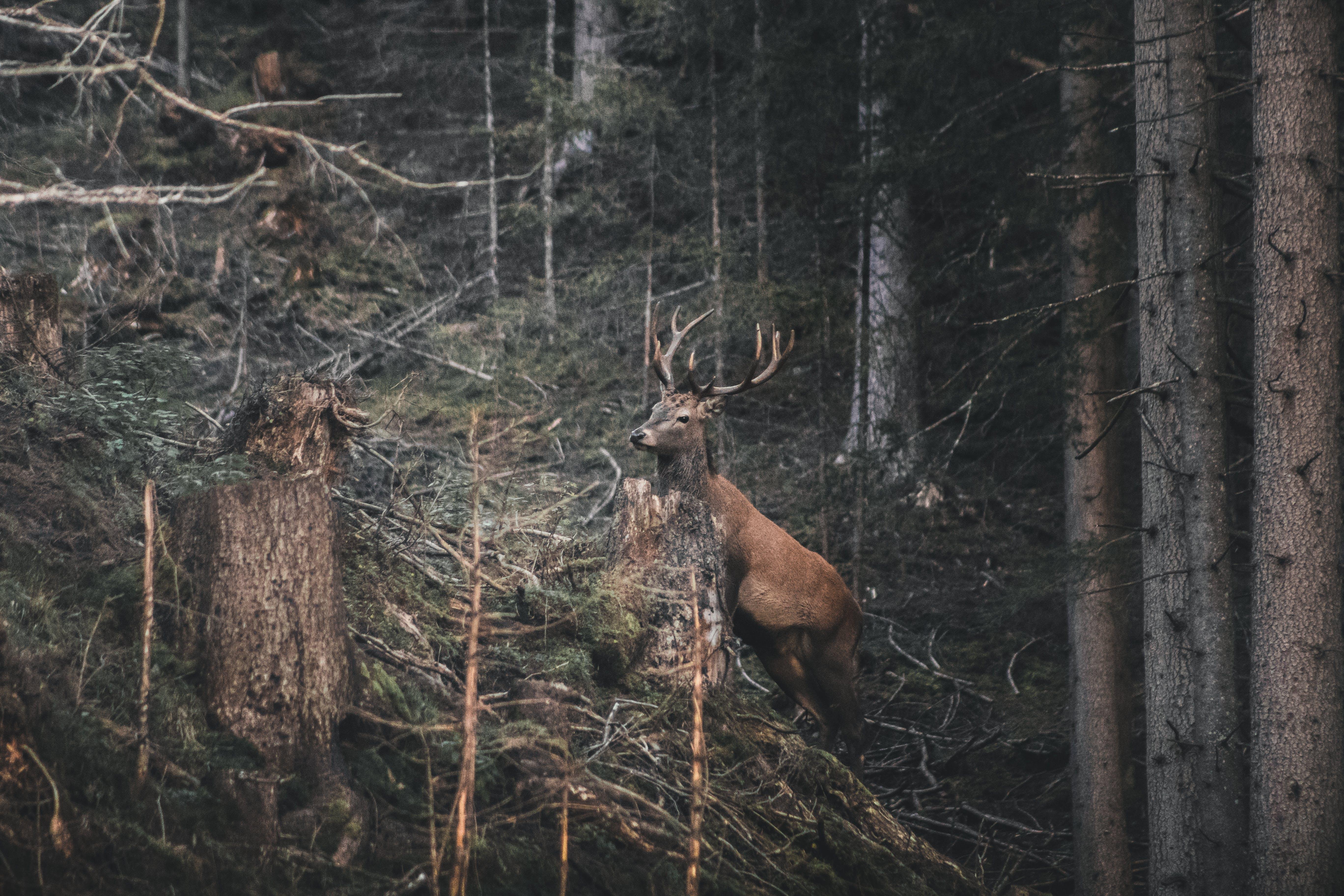 Reindeer In The Woods