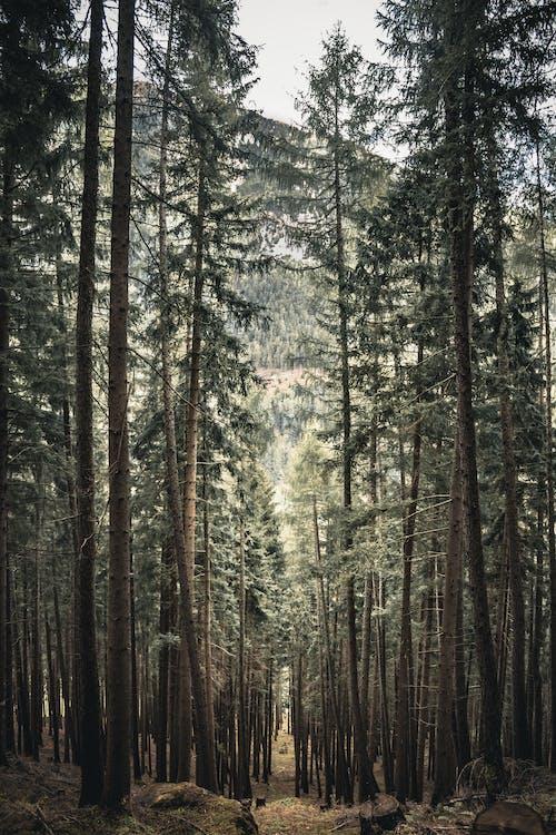 Foto d'estoc gratuïta de a l'aire lliure, arbres, avet, bagul