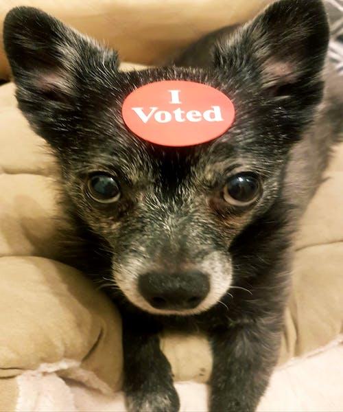 Gratis stockfoto met #dog #animal #cute #chihauhau # grappig, #stemmen
