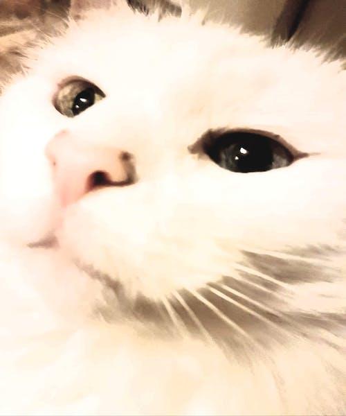 Gratis stockfoto met #cat #white #eyes #whiskers