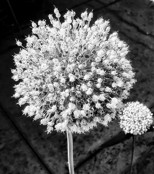 Free stock photo of black and white, bunch of flowers, dark and light, flower heads